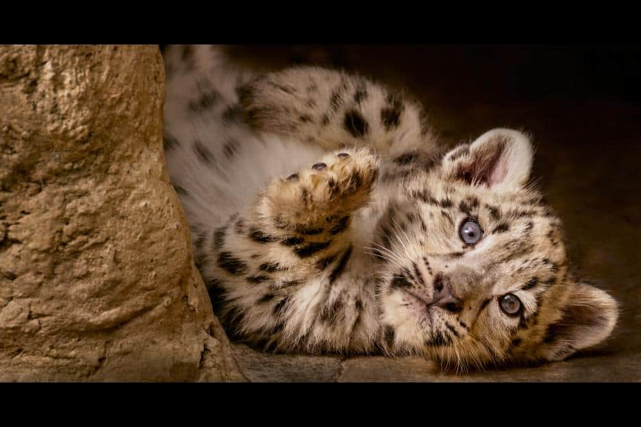 Disneynature Born In China - mountain snow leopard Dawa