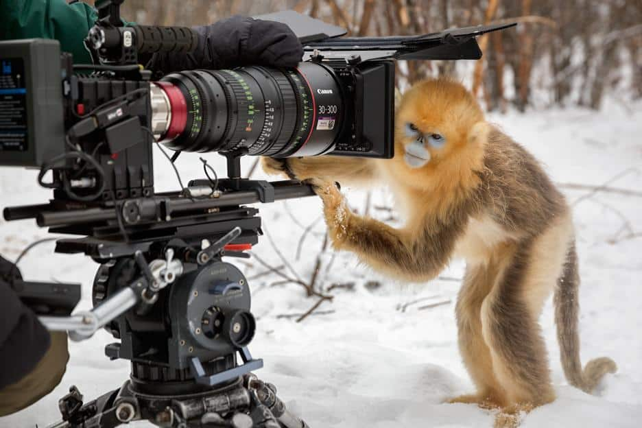 Disneynature Born In China - monkey